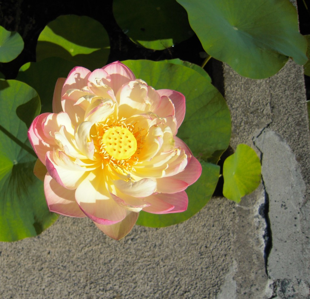 This stunning lotus was just one of the insanely beautiful plants in the water garden.