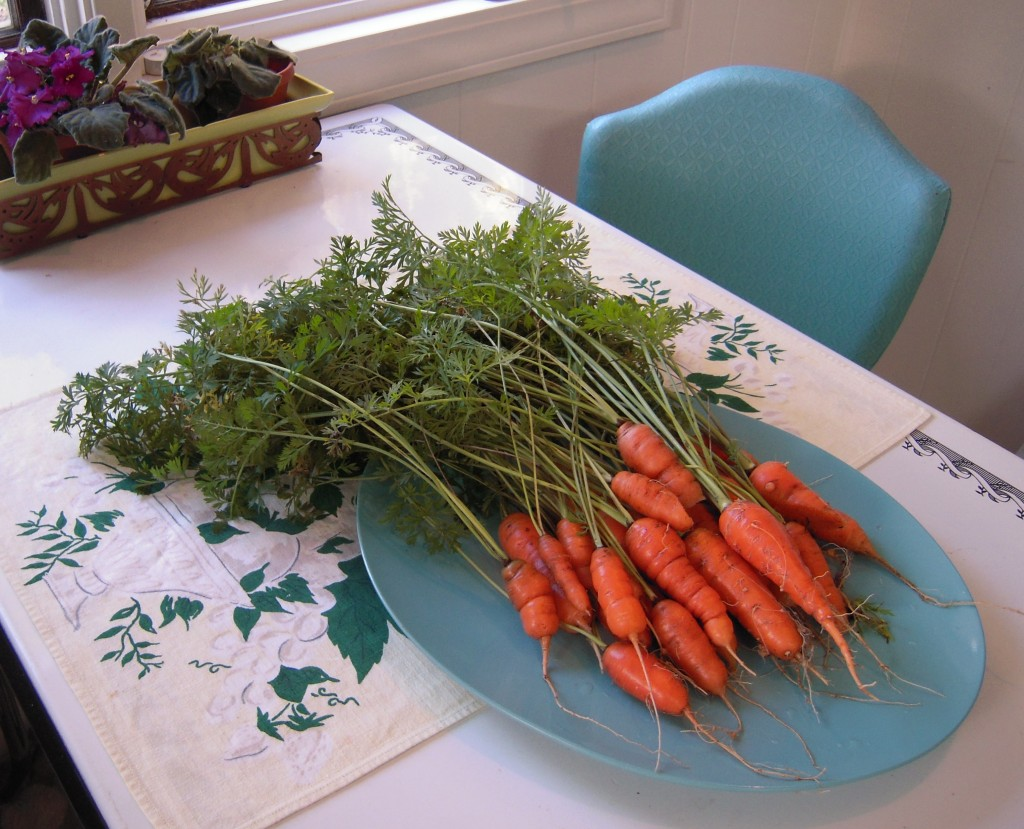 I woke up yesterday morning and there was a frosty shimmer upon the rooftops so I knew I had harvest the last bits of my garden. I was so pleased to find this lovely bunch of carrots below the dirt! My best carrot harvest yet!