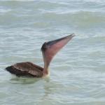 pelican blog